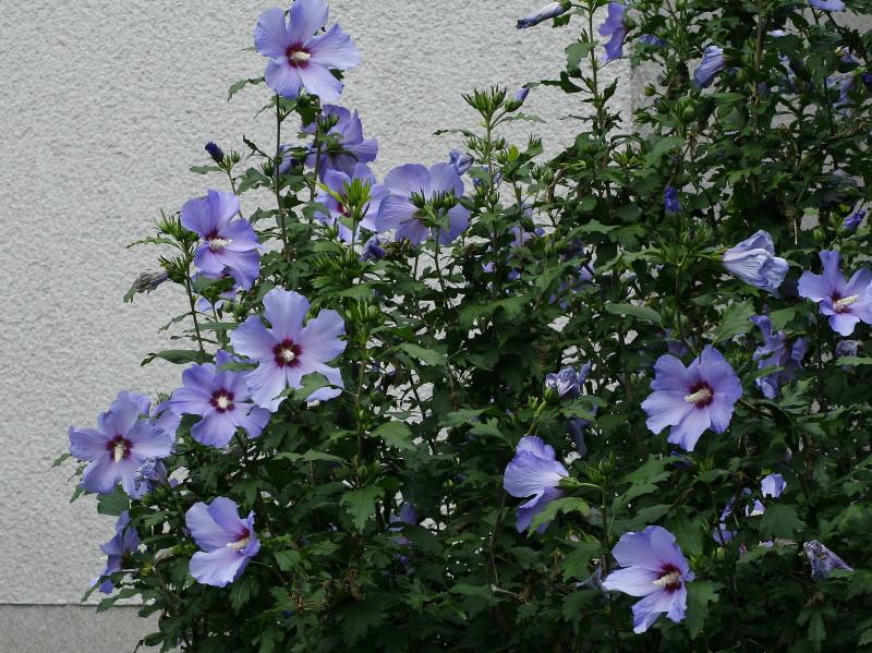 Hibiscus-syriacus-Blue-bird-sirski-oslez-06.jpg