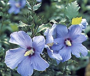 hibiscus_syriacus_blue_bird.jpg