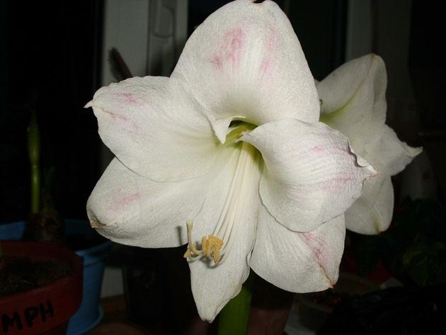 hippeastrum-con-trazas-rosas-aisladas-sobre-fondo-blanco-white-people.jpg