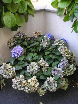 Flores marchitas se deben cortar o dejarlas hasta podar - Como podar la hortensia ...