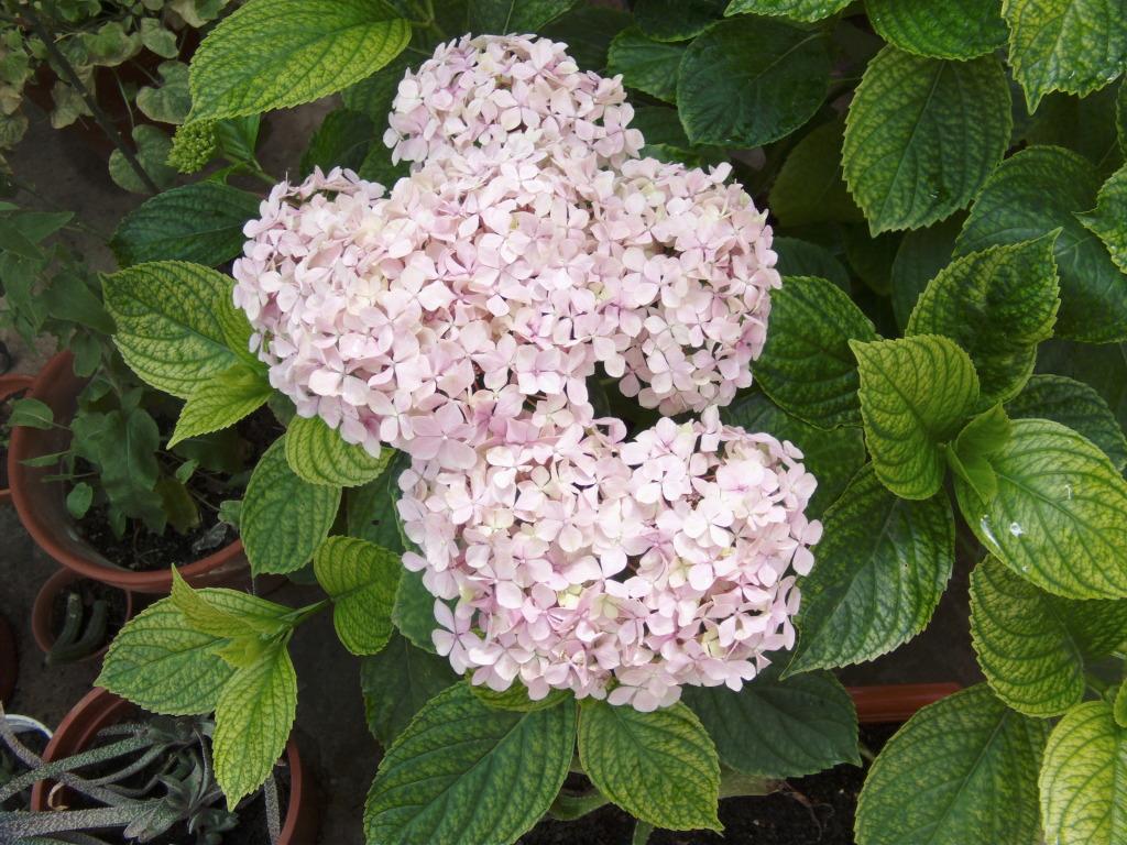 Hortensiamsrosa1jpg.jpg