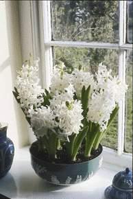 hyacinnocence.jpg