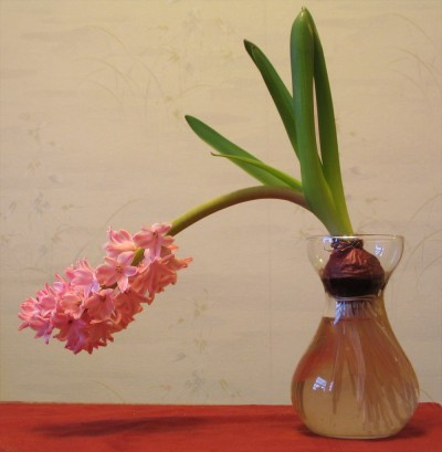 hyacinth-falling-over1-400x409.jpg