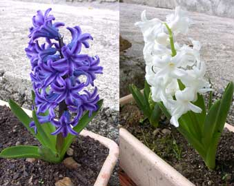 hyacinthus-2.jpg