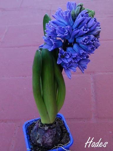 hyacinthus%2520orientalis.jpg