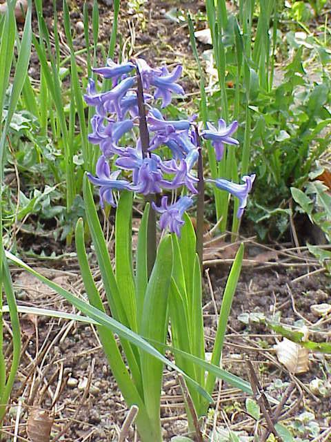 Hyacinthus_orientalis0.jpg