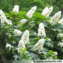hydrangea-quercifolia.jpg