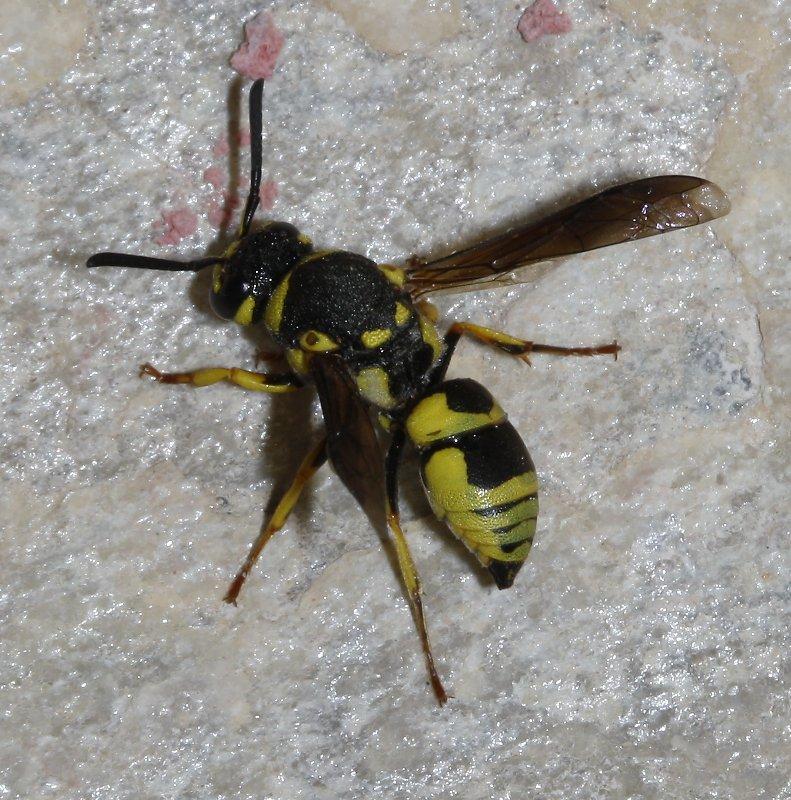 hymenoptera_2532.jpg