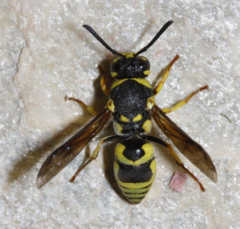 hymenoptera_2533.jpg