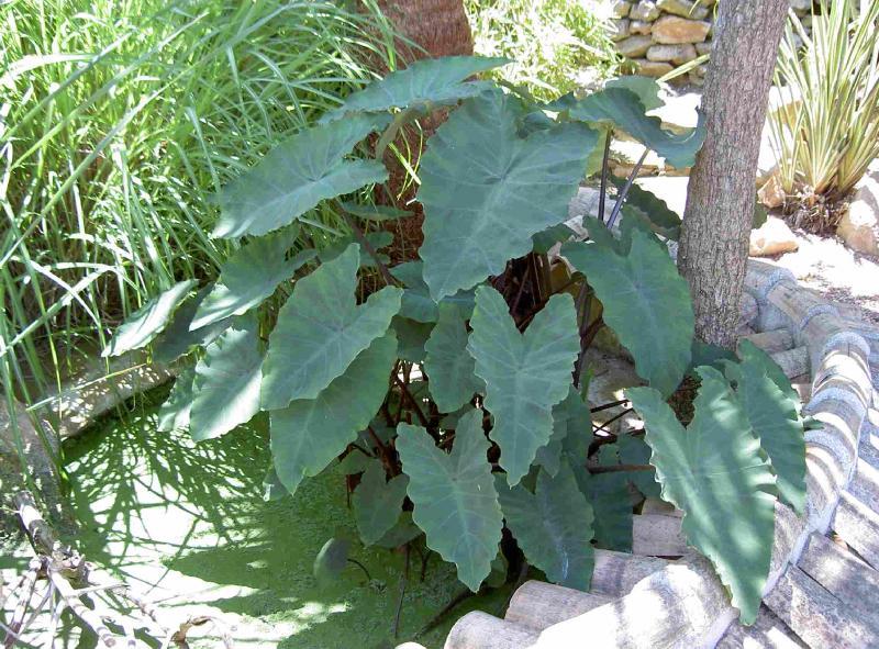 Foto de colocasia esculenta taro o malanga plantas de for Hojas ornamentales