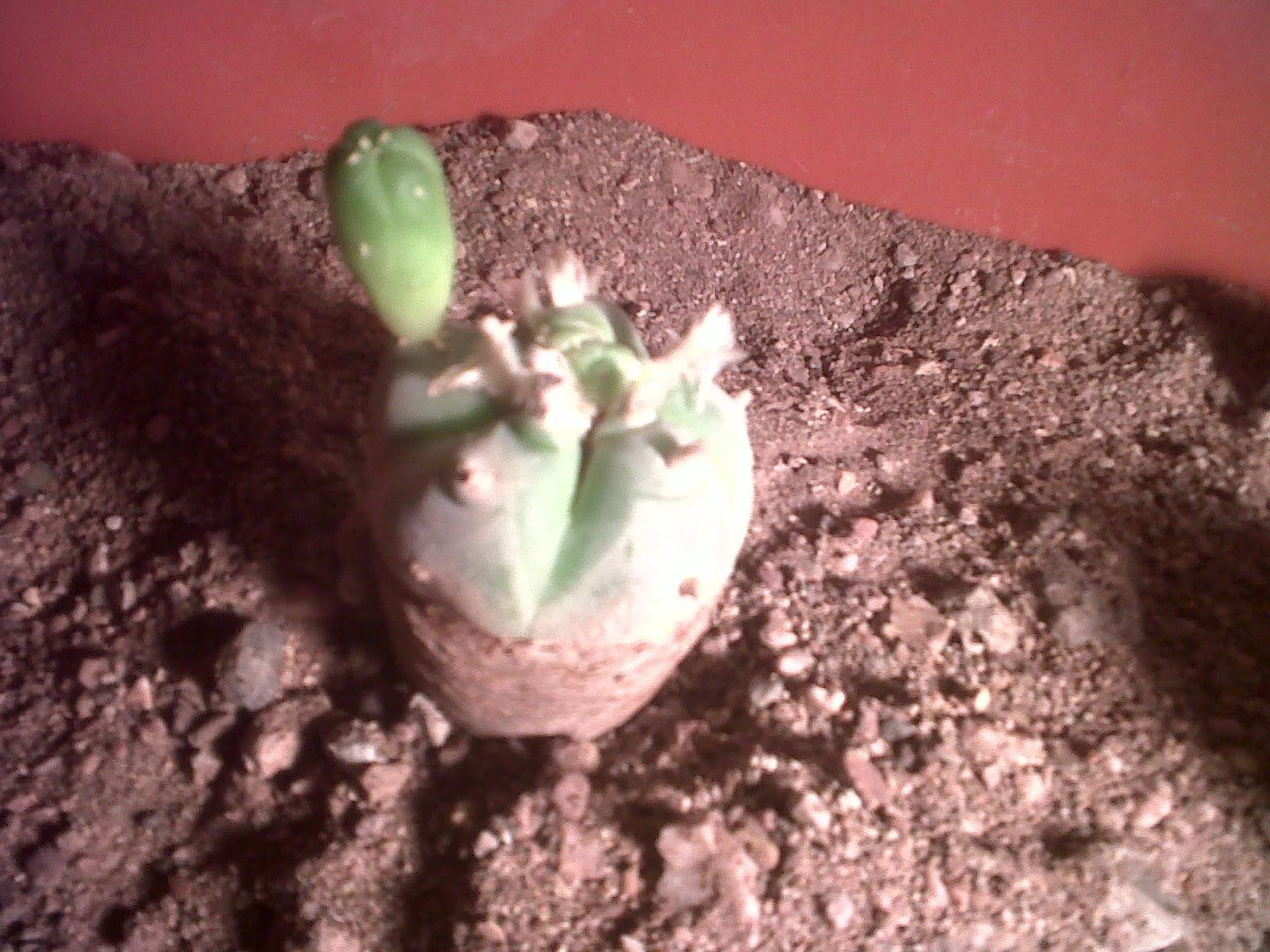 Qu es lo que le crece a mi cactus - Como transplantar cactus ...