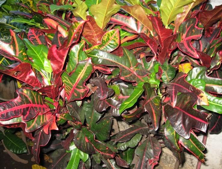 Croton codiaeum variegatum fotos y consejos de cultivo Plantas tropicales interior
