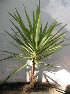 Yucca - Yuca infojardin ...