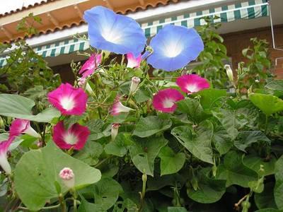 ipomeas_de_flores_rosas_y_azules_24-sept-06.JPG
