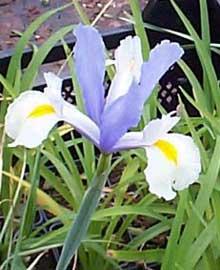 iris-xiphium.jpg