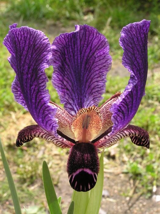 Iris_paradoxa_ssp_paradoxa.jpg