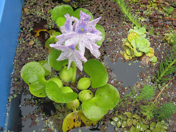 jacinto+de+agua+en+flor+2+julio+2011.jpg