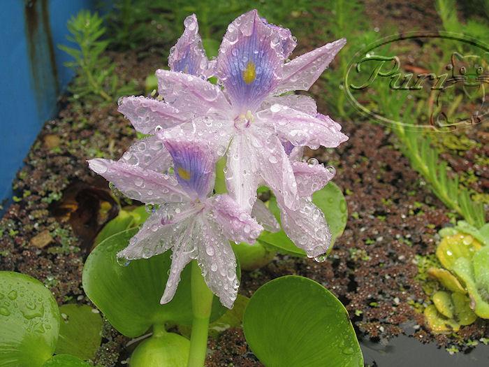 jacinto+de+agua+en+flor+julio+2011.jpg