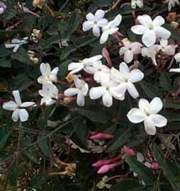 jasminum-polyanthum.jpg