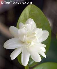 jasminum sambac belle of india var mysore mulli.jpg