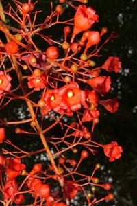 Juillet-Brachichiton-acerifolium-.jpg