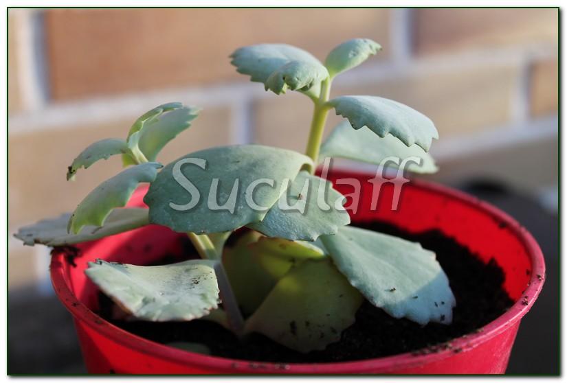 Kalanchoelongiflora1_zpse902d4d5.jpg