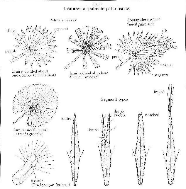 Tipos de hojas de palmeras: hoja pinnada, palmada y costapalmada