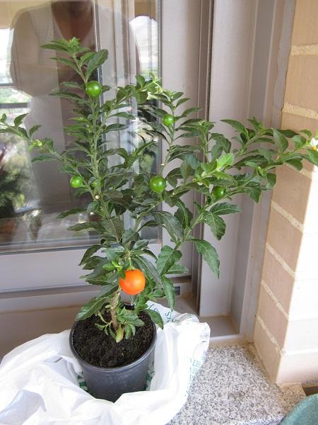 Tomates cherry en maceta puedo trasplantar a una mayor - Tomates cherry en maceta ...