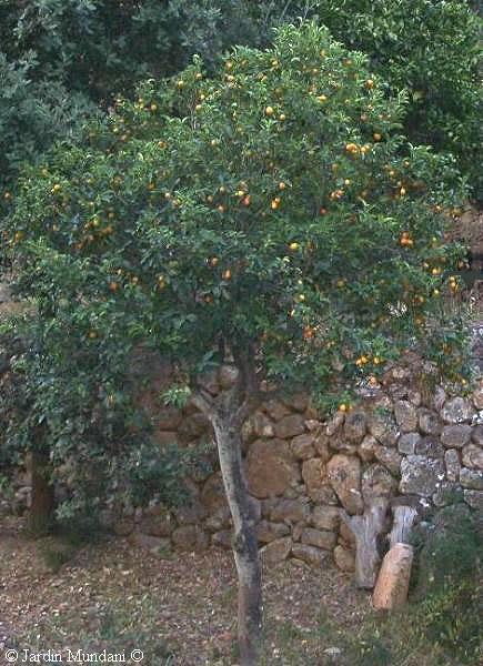 kumquat1.jpg