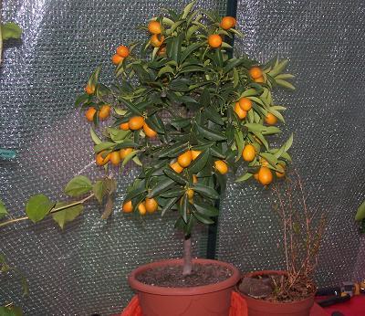 kumquat2006.JPG