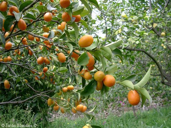 kumquat8.jpg