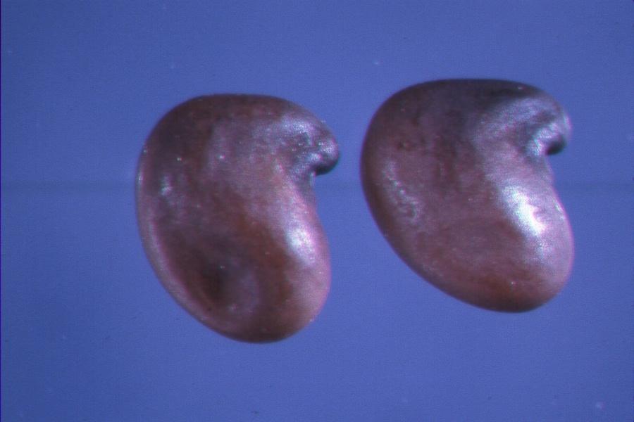 laburnumanagyroides.jpg