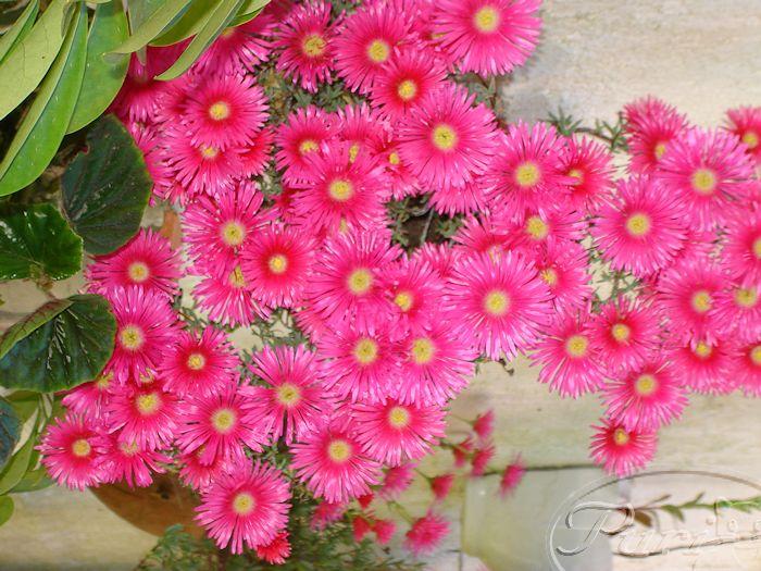 lapranthus+en+flor.JPG