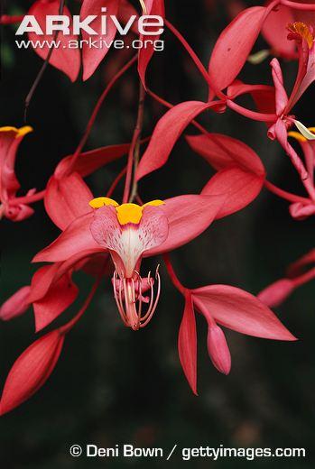 large-Pride-of-Burma-flowers.jpg