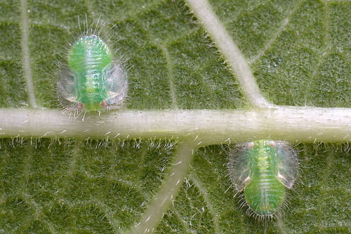 larvadepsila.jpg