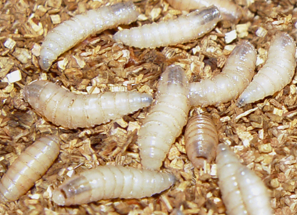 larvas2.jpg