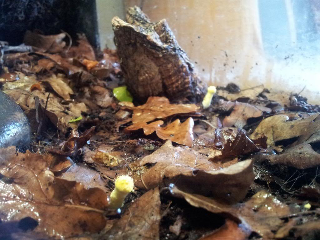 Leucocoprinusbirnbaumii21_zps8624488f.jpg