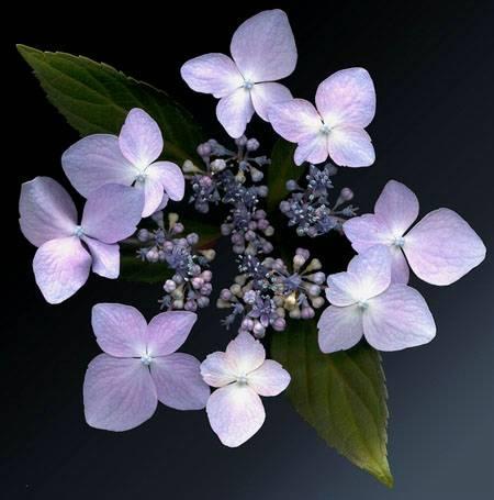 lilacina.jpg