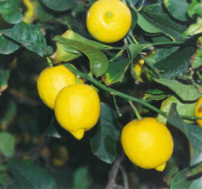 limonero.JPG