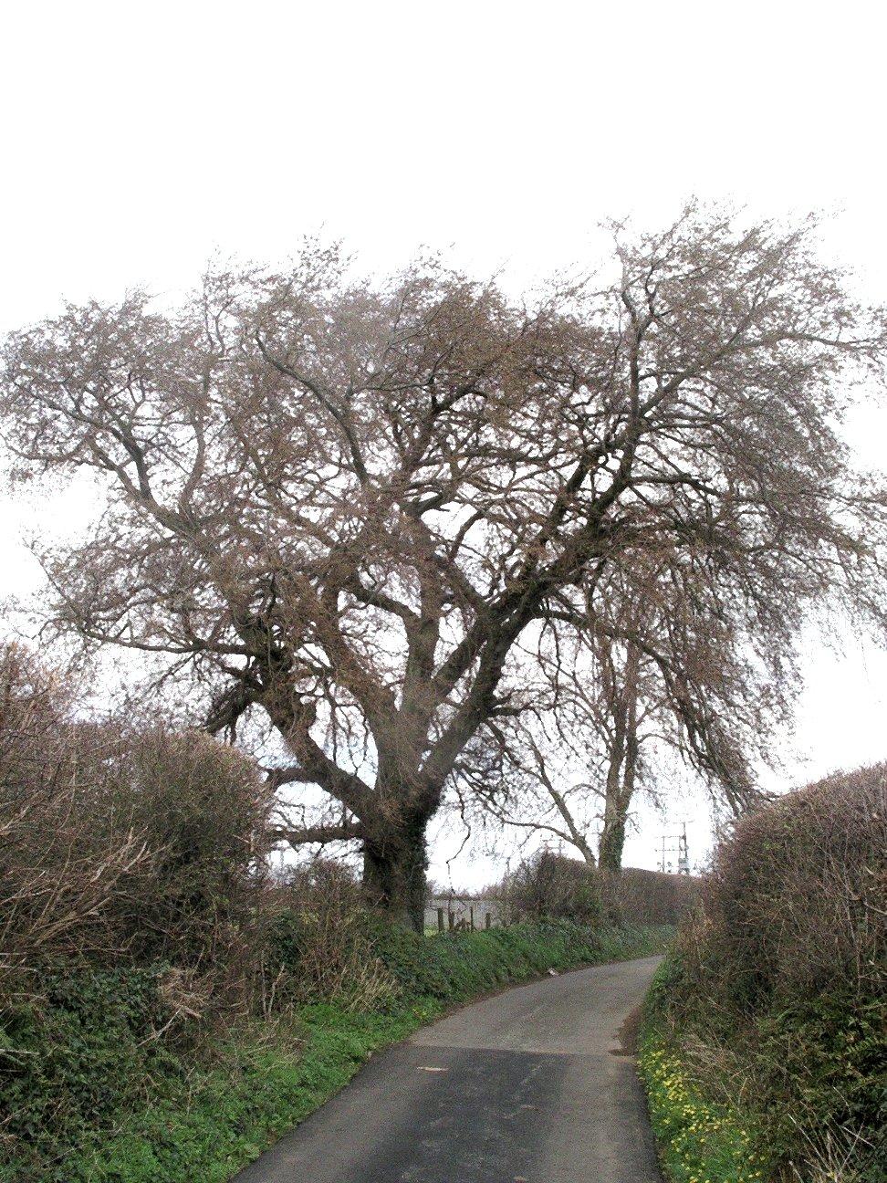 Llandegfan_Elm_tree.jpg