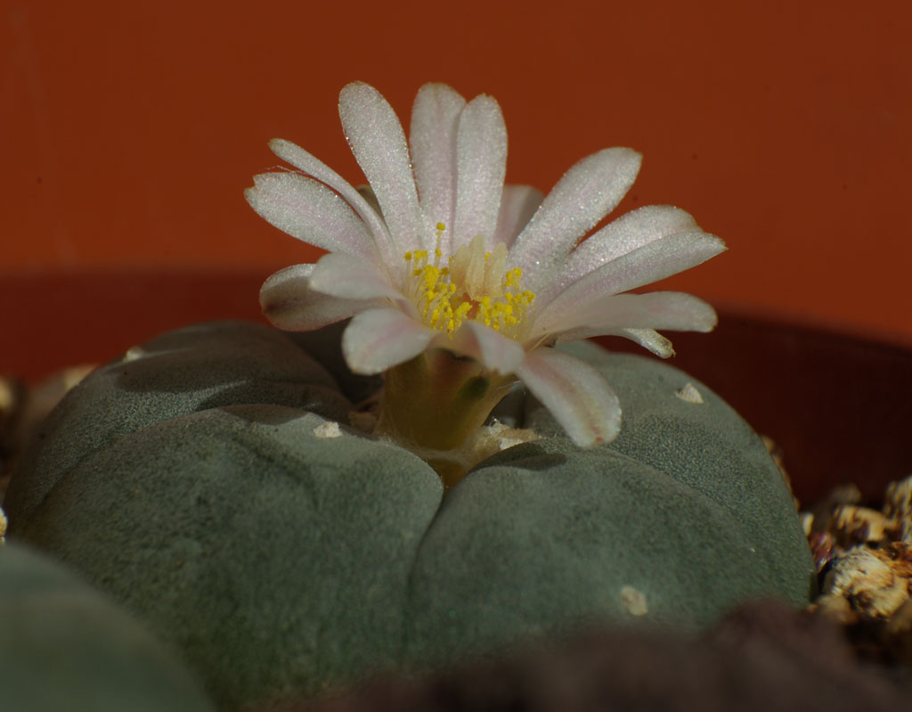 Lophophora4.jpg
