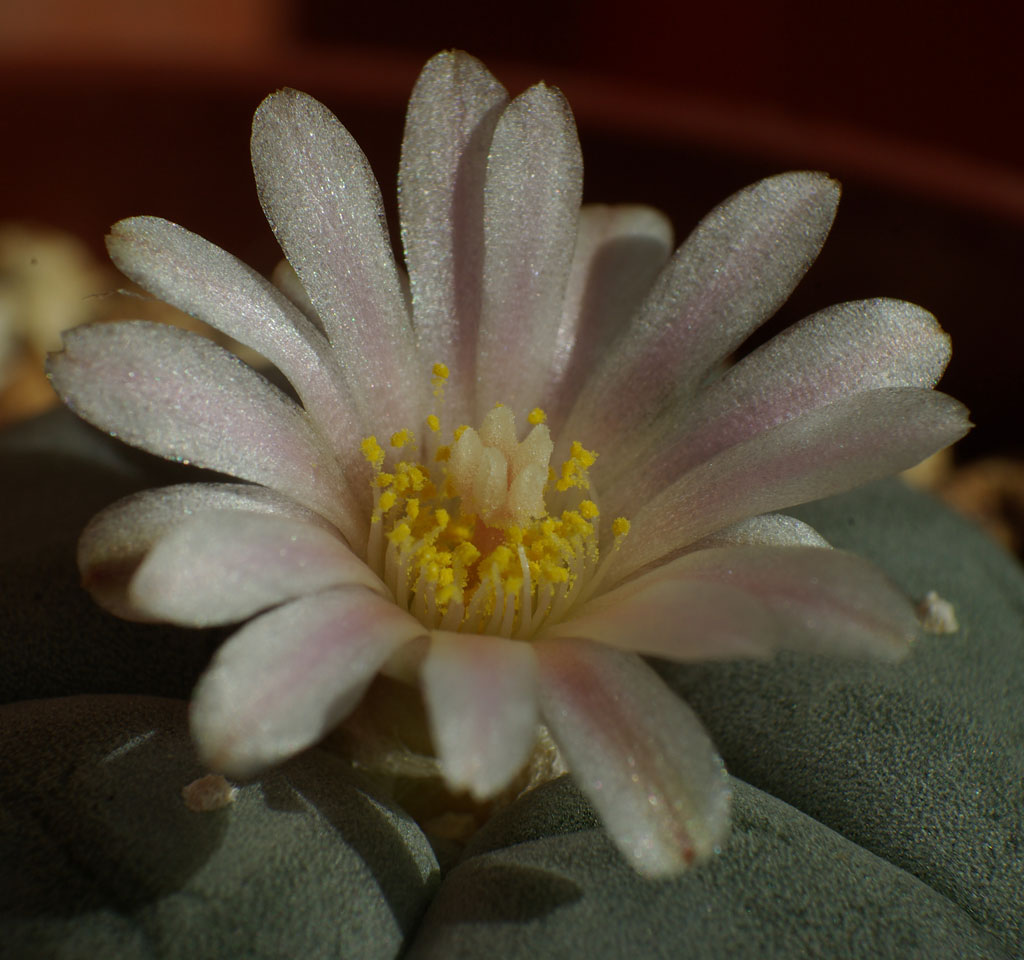 Lophophora5.jpg