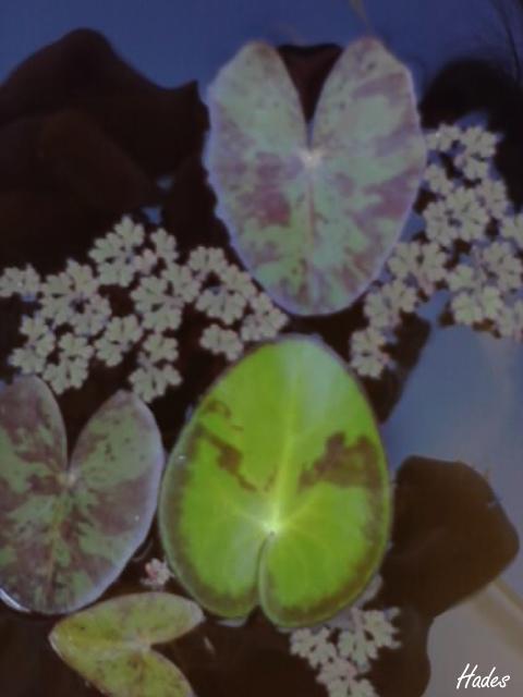 lotos2.jpg