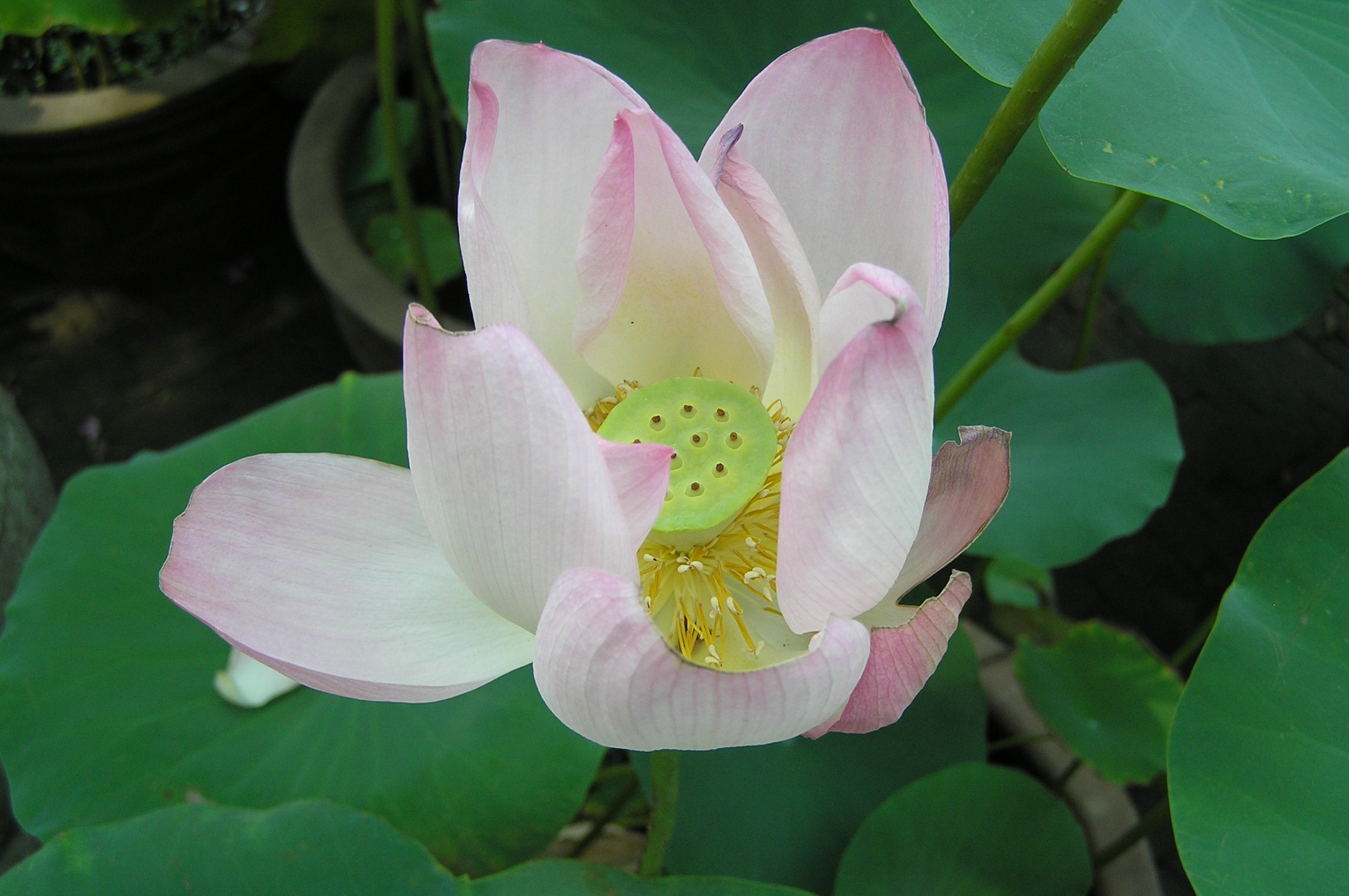 Lotus_flower_%28Suzhou%2C_China%29.jpg