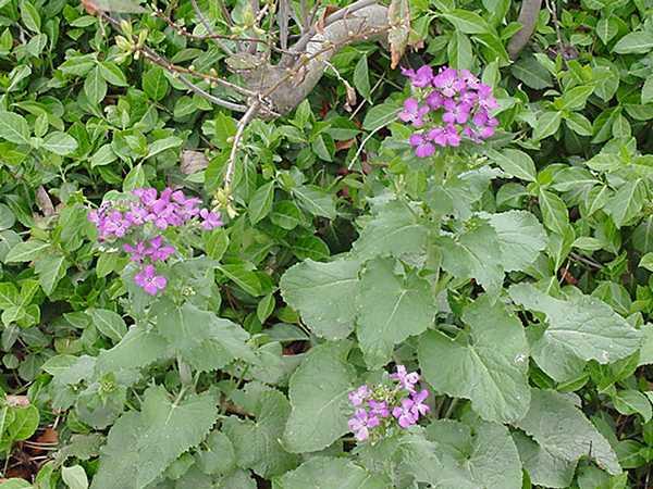 lunaria_flower.jpe