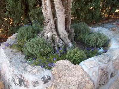 Al pie de olivos y otros arboles plantas y dise os - Olivo en maceta ...
