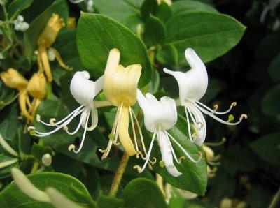 Identificar plantas flores jard n - Madreselva en maceta ...