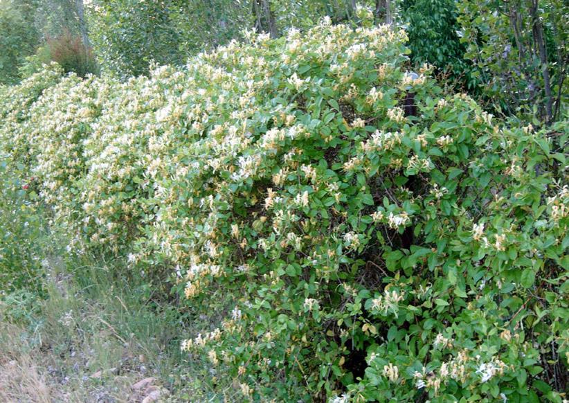 Trepadora de hoja perenne suelo arcilloso madrid quiero - Madreselva planta ...