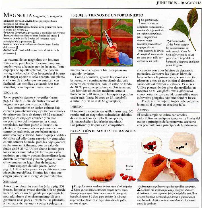 Magnolio germinaci n de semillas e intercambios p gina 9 - Semilla de magnolia ...