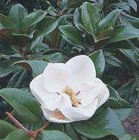 magnolia-grandiflora-flor.jpg